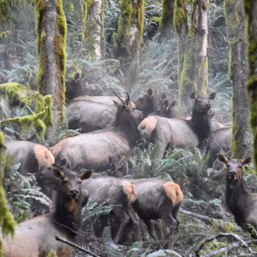 Elk in the forest | by Oregon Coastal Flowers
