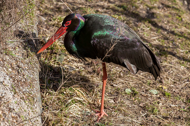 Black Rainbow Bird, Pt. 2 - _TNY_1303