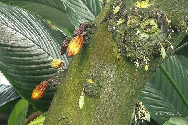 Baby cacao pods