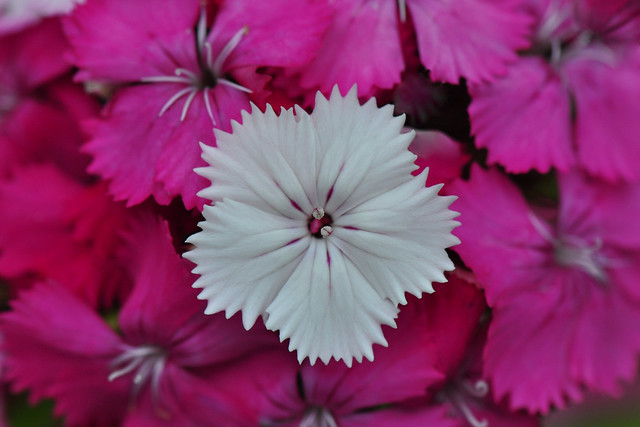 Standout from the crowd ! (Dianthus Amazon rose Magic)