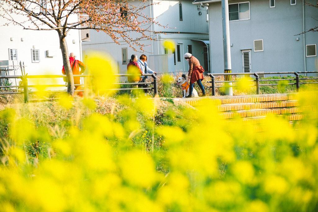 西古瀬川 河津桜 + 菜の花