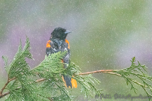 Baltimore Oriole in the Sleet