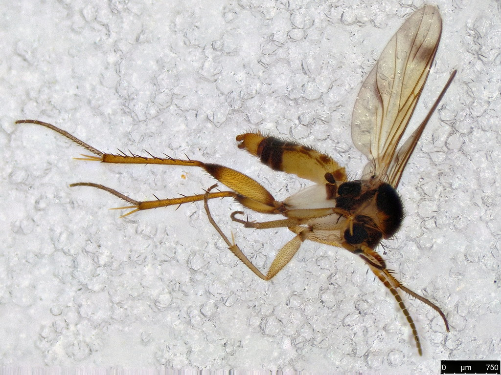 24a - Mycetophilidae sp.