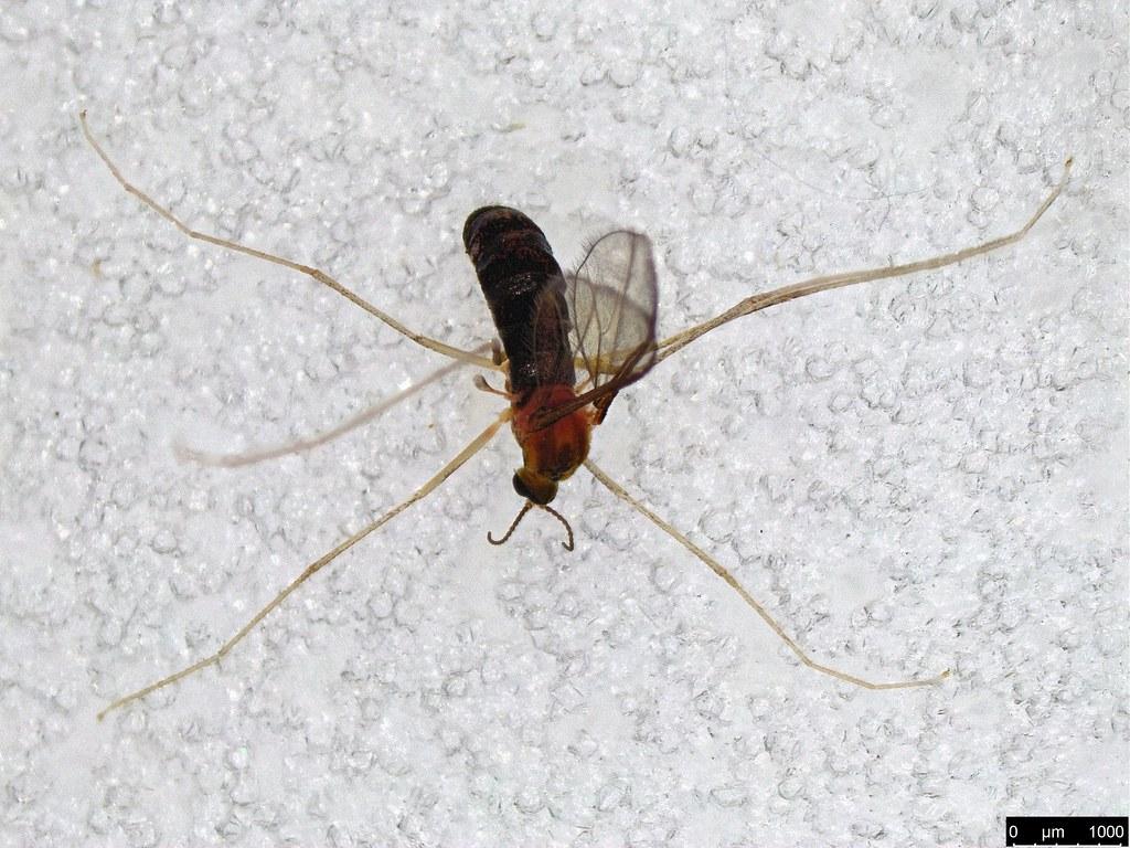 24a - Cecidomyiidae sp.