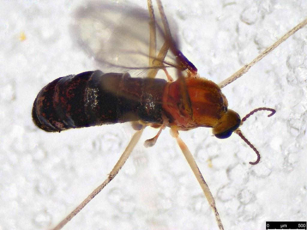 24b - Cecidomyiidae sp.