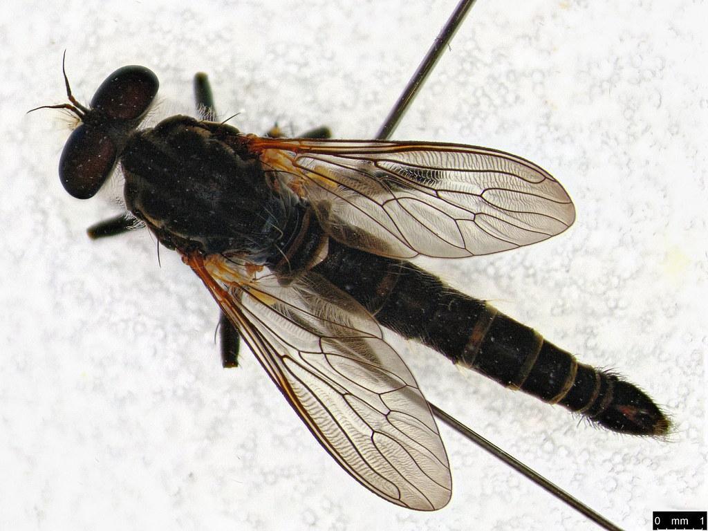 25a - Asilinae sp.