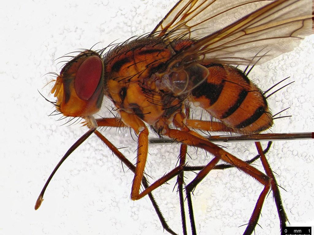 27b - Taxhinidae sp.