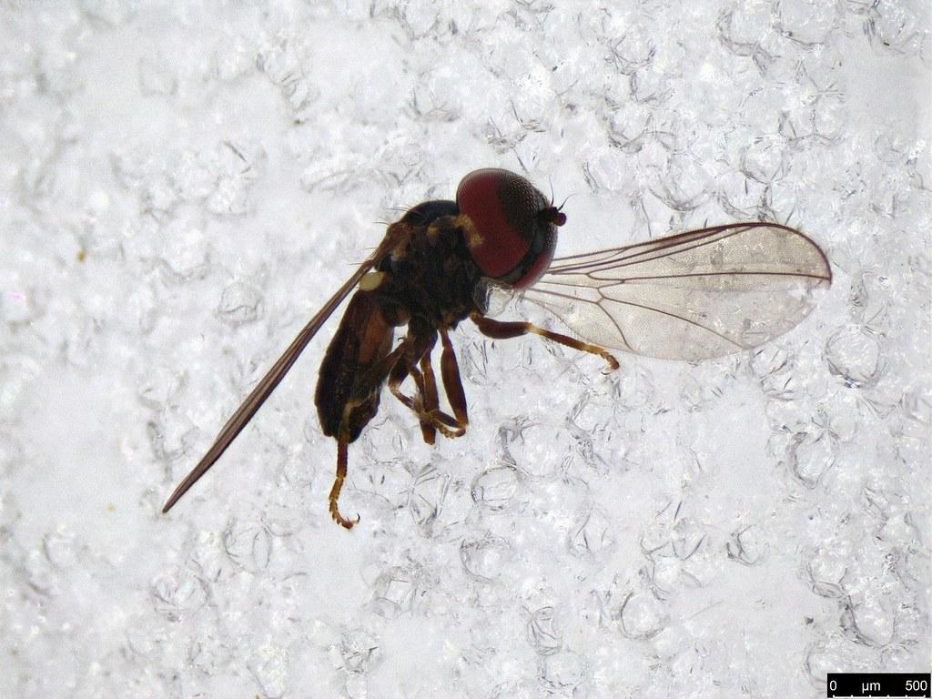 30 - Pipunculinae sp.