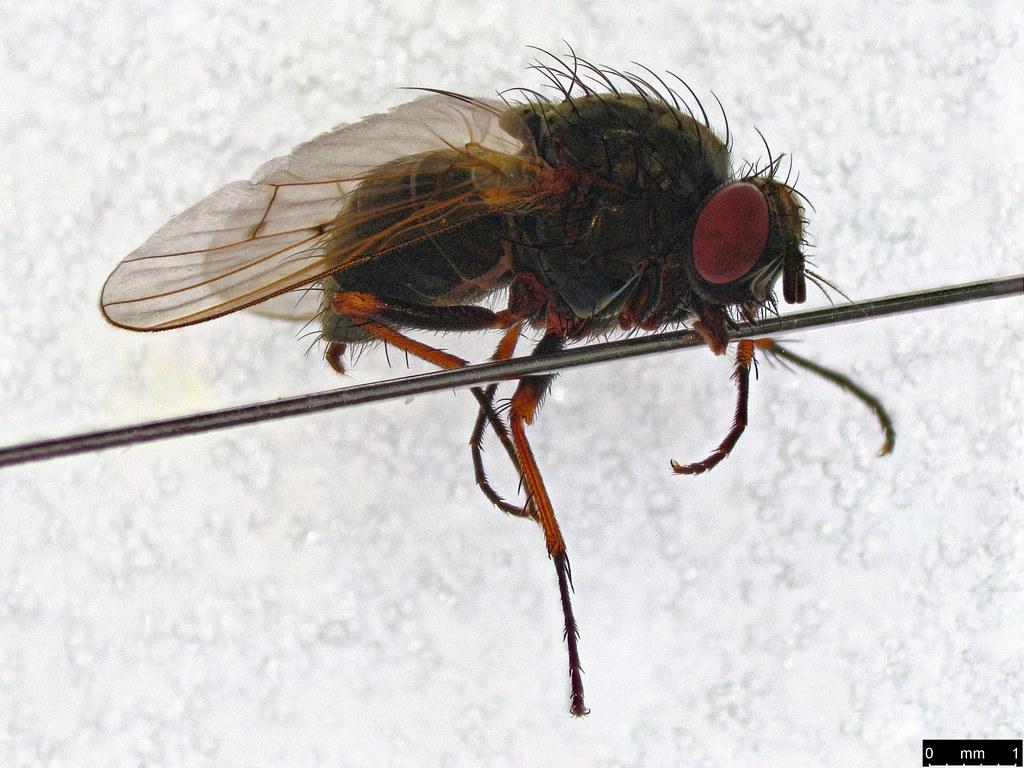 32b - Muscoidea sp.