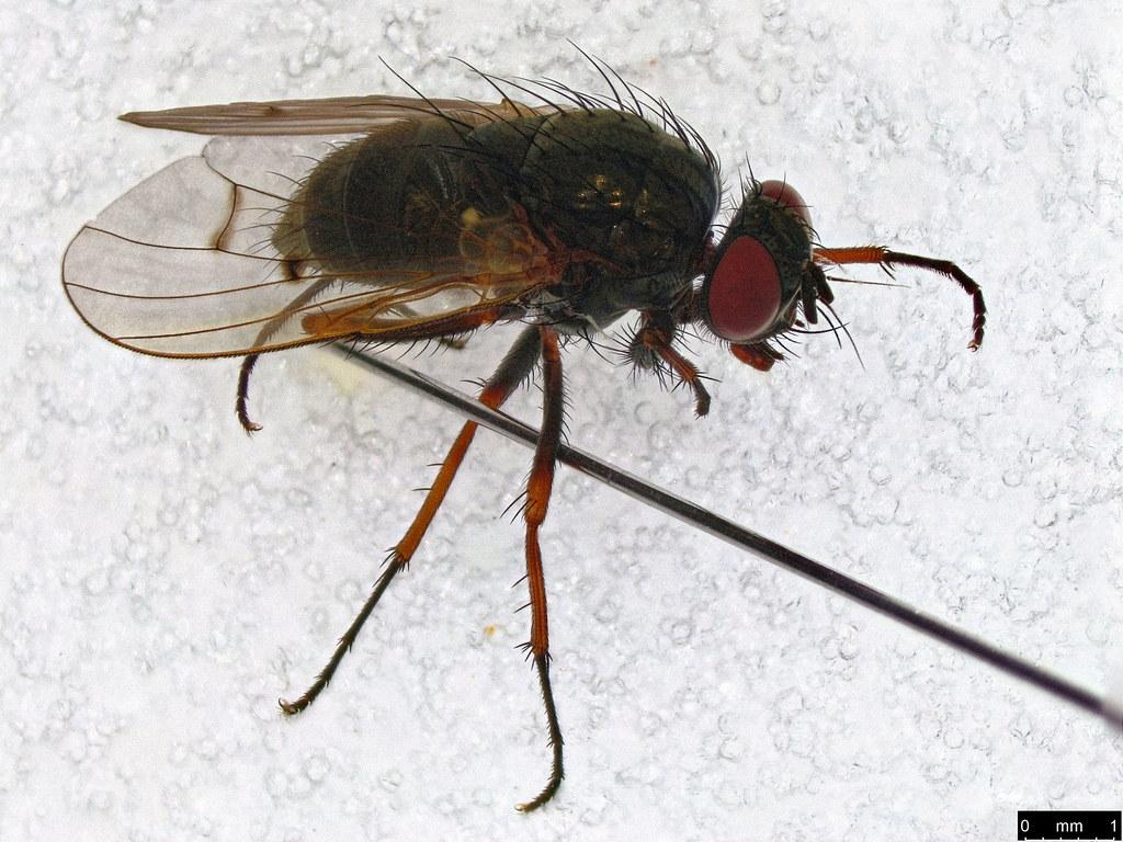 34 - Muscoidea sp.