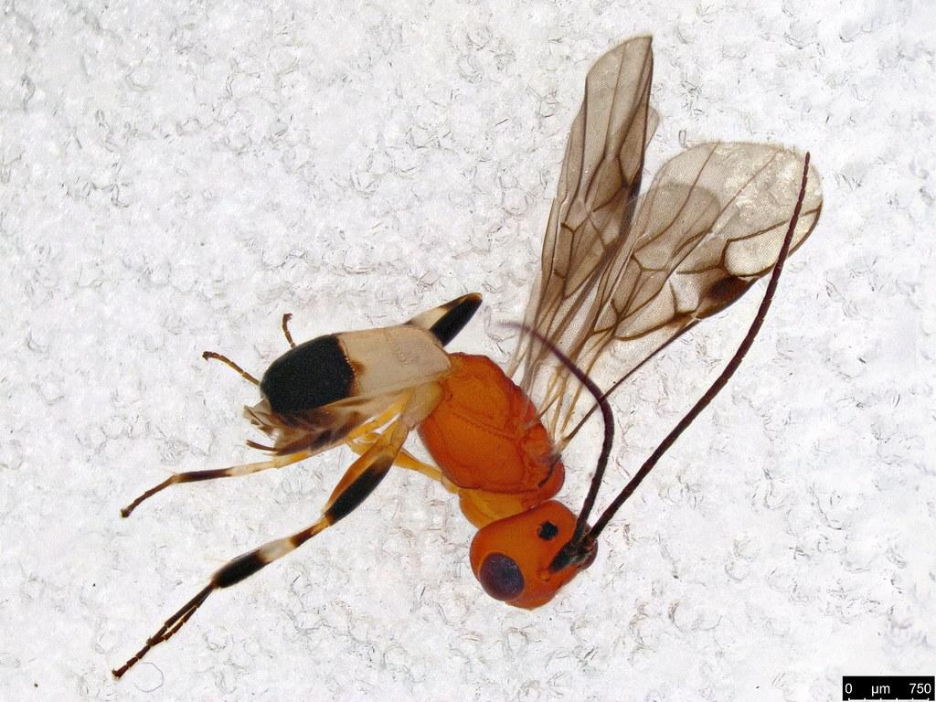 41 - Cheloninae sp.