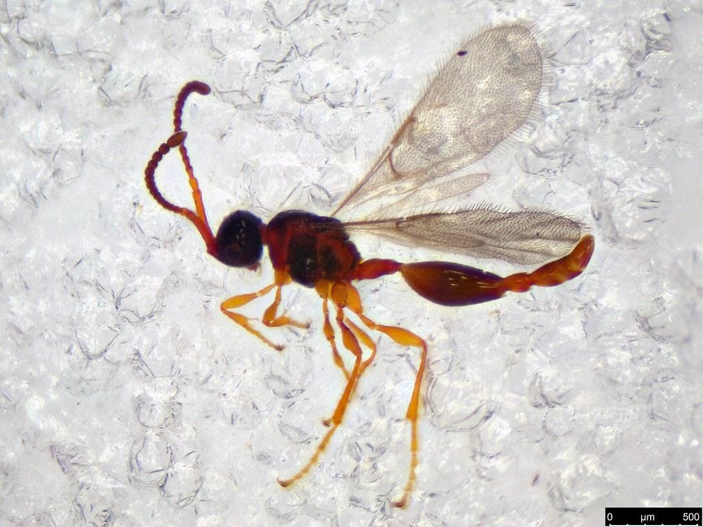 48 - Belytinae sp.