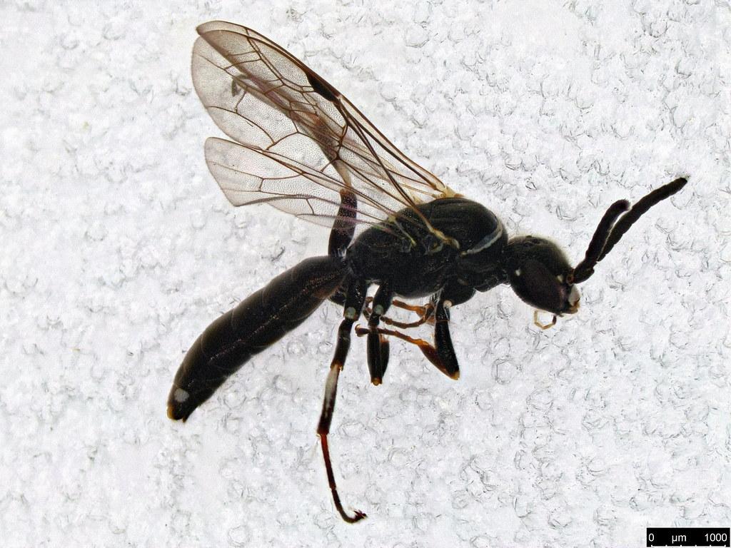 50a - Vespoidea sp.