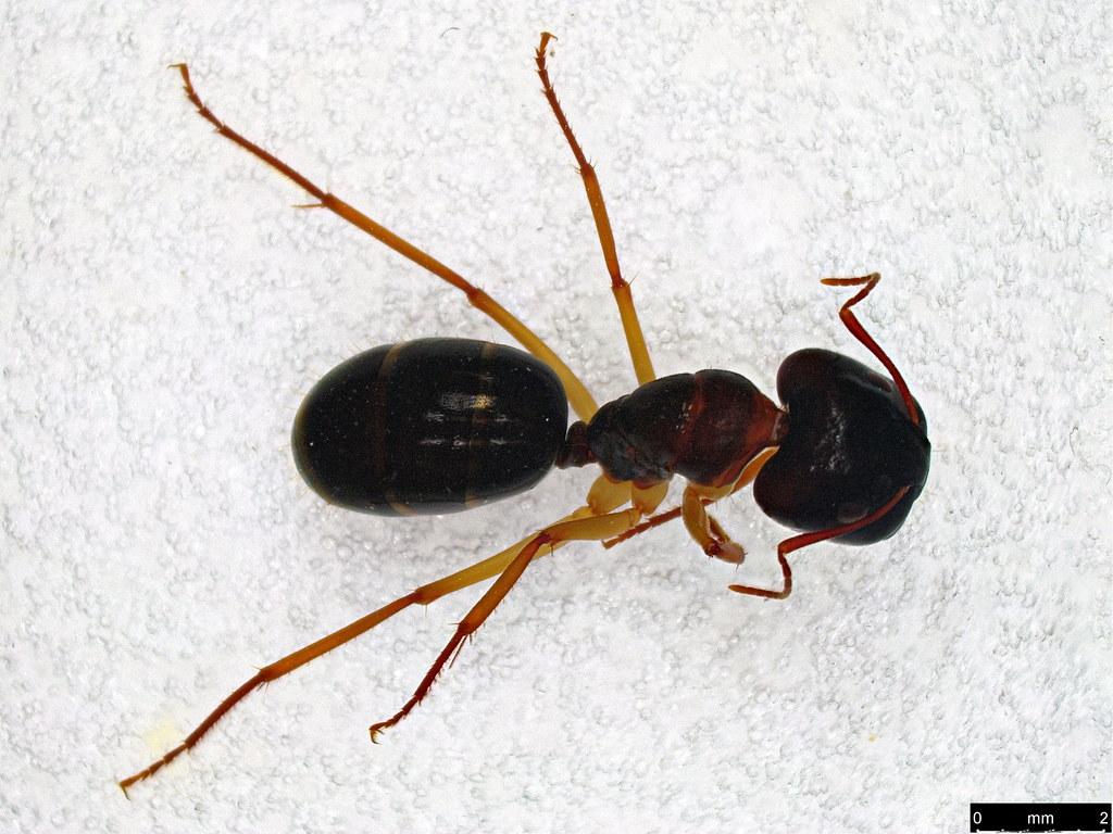 52a - Camponotus sp.