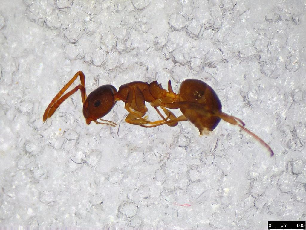 54a - Myrmicinae sp.
