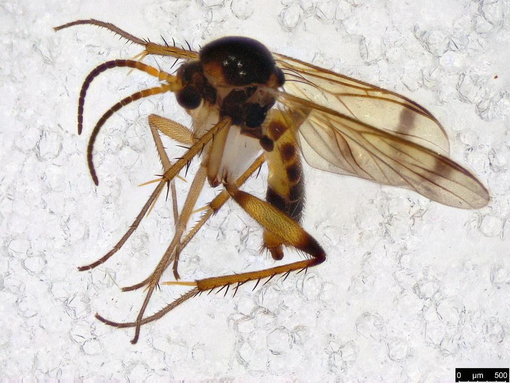 23 - Mycetophilidae sp.