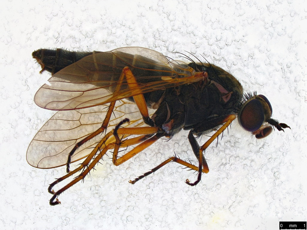 26 - Anabarhynchus plumbeoides Lyneborg, 2001