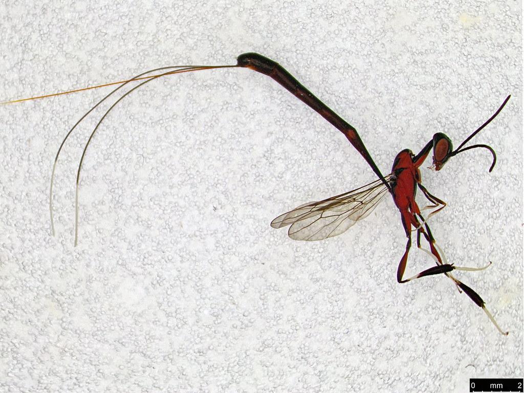 35b - Gasteruption longicolle Schletterer, 1889