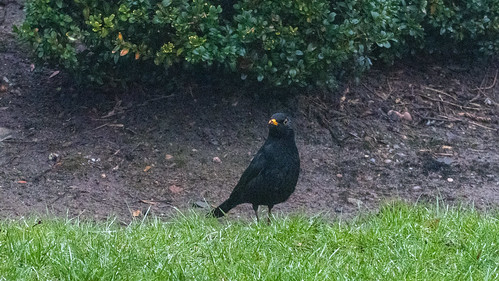 Questing male blackbird, West Park