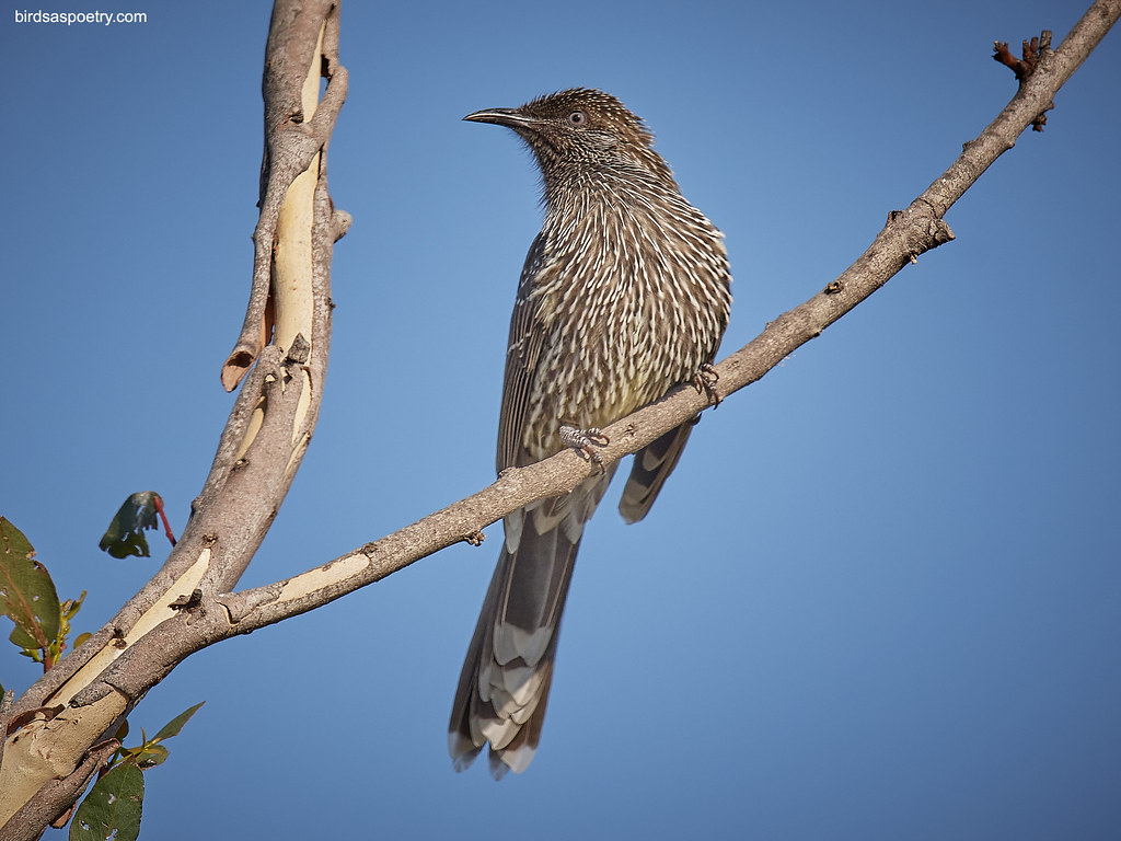 Little Wattlebird: Formal Portrait