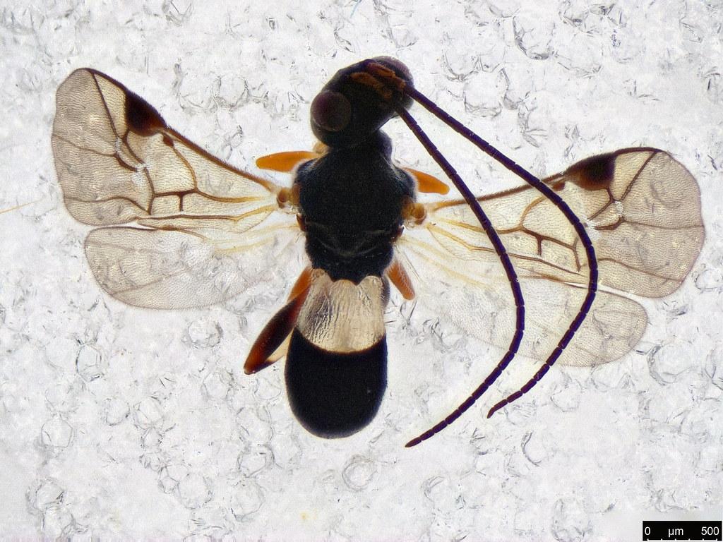 40 - Cheloninae sp.