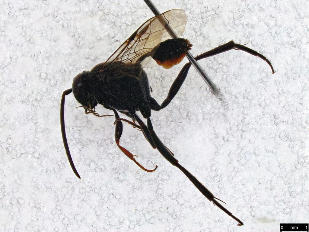 42 - Evaniidae sp.