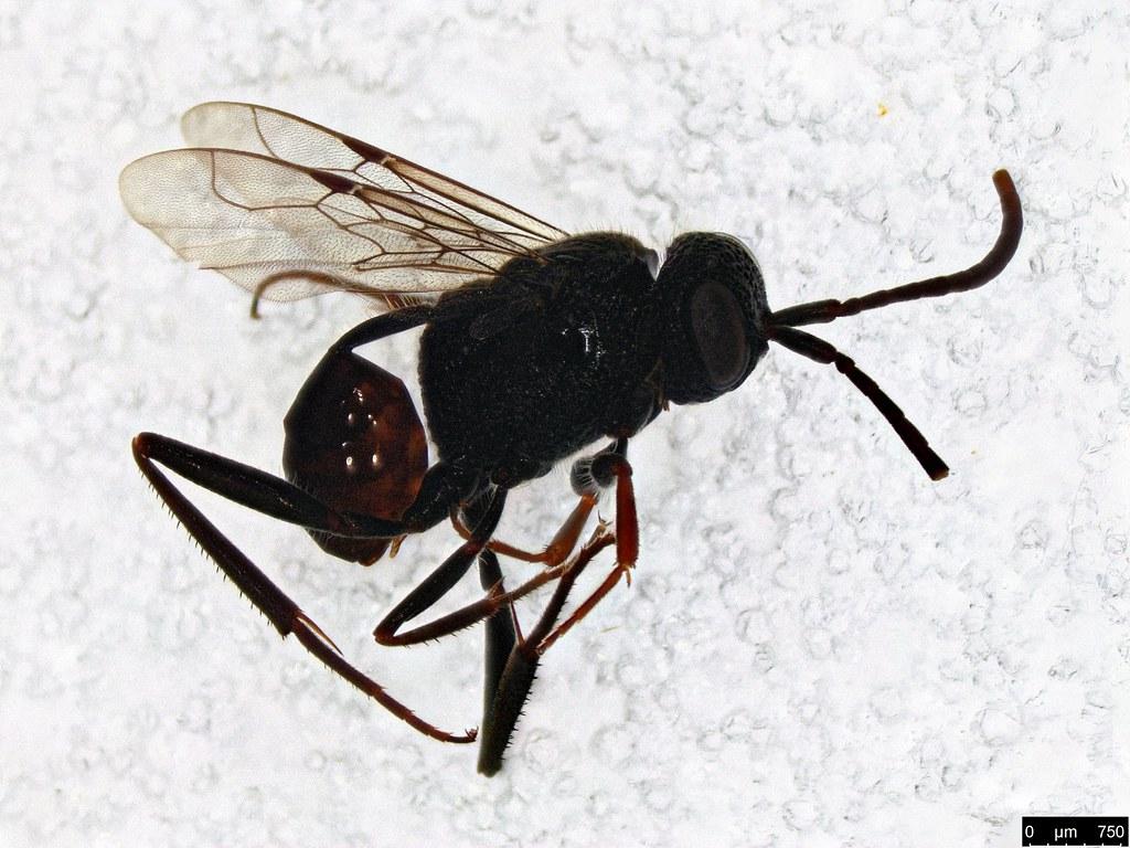 43 - Evaniidae sp.