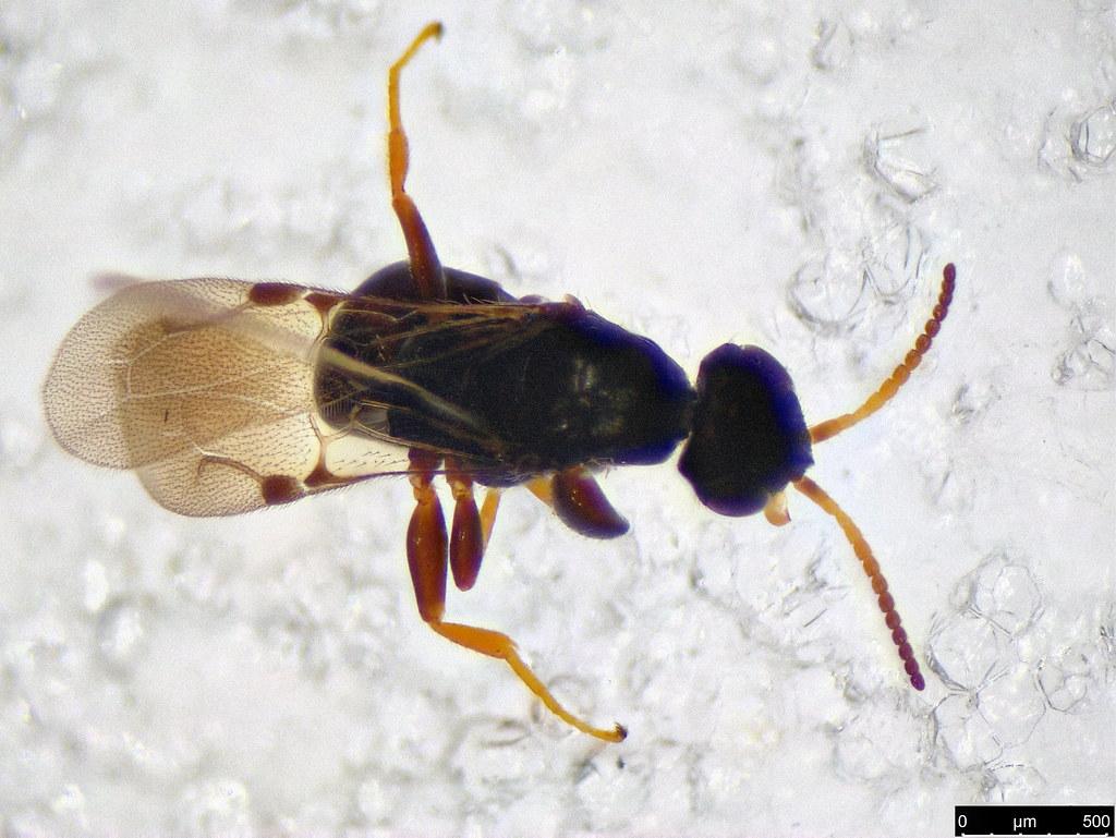 44b- Bethylidae sp.
