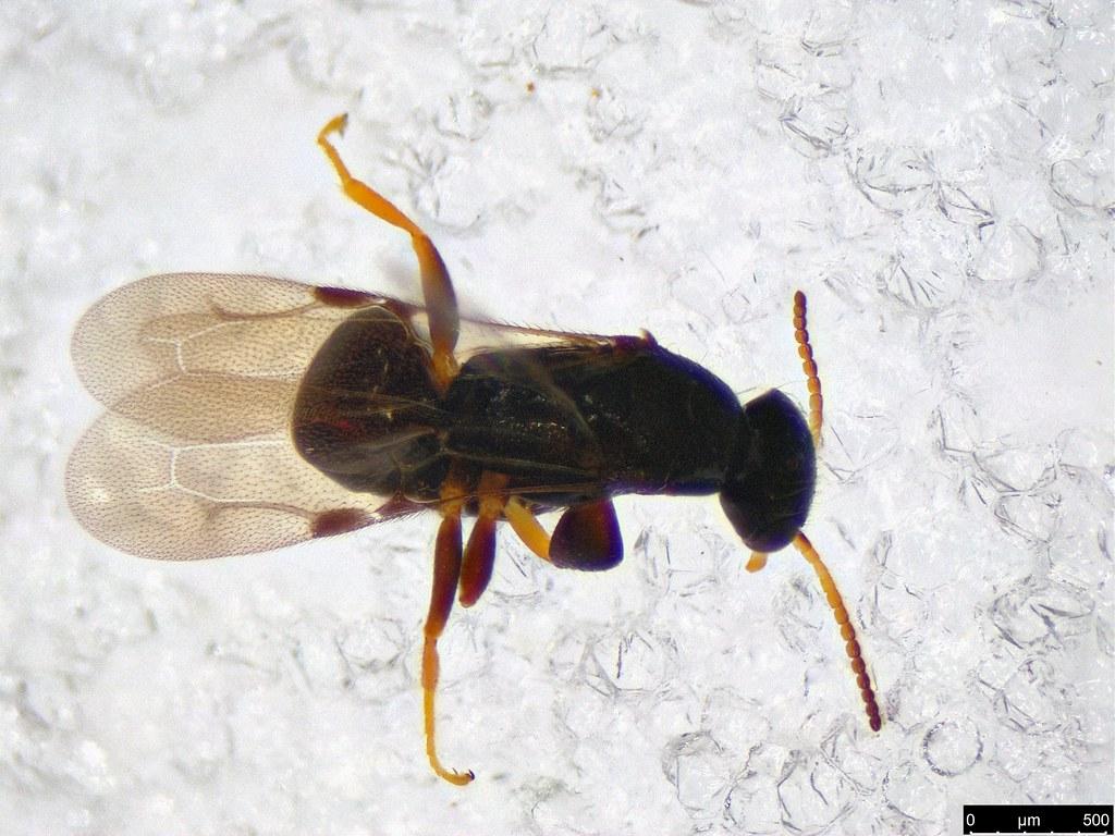 46b- Bethylidae sp.