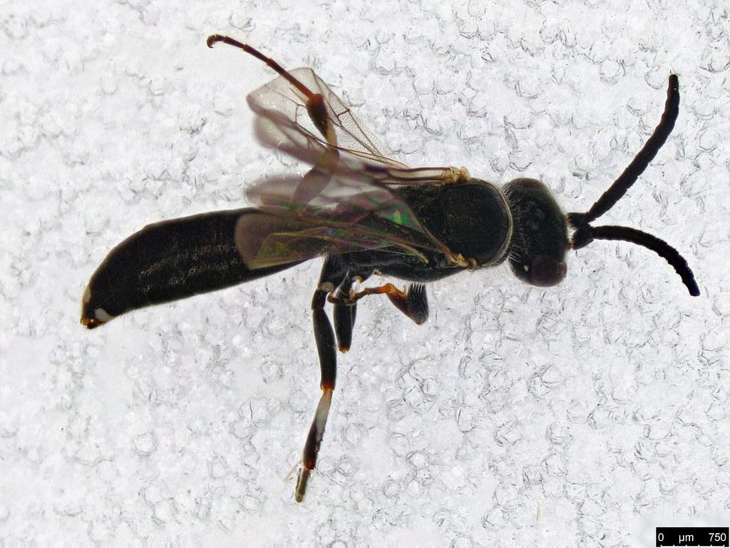 50b - Vespoidea sp.