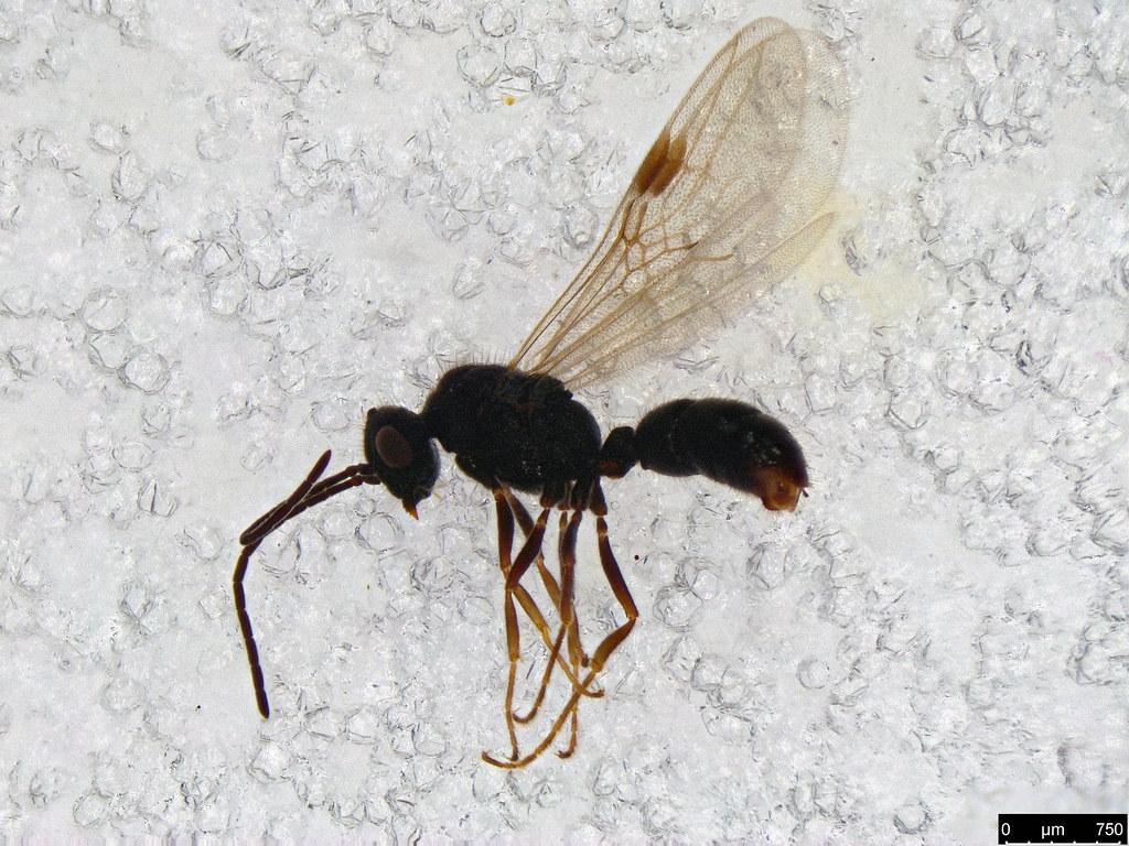 51- Amblyopone sp.