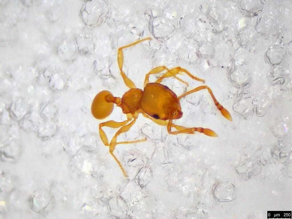55b - Myrmicinae sp.