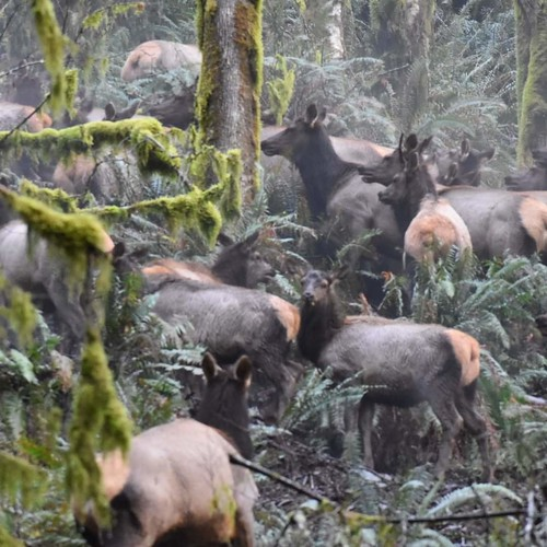 Elk Herd | by Oregon Coastal Flowers