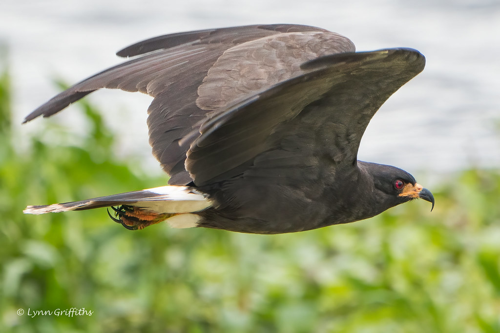 Snail Kite 502_4225.jpg