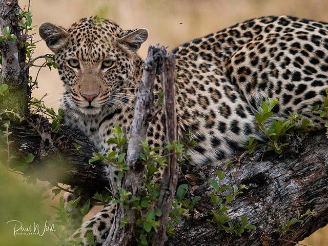 Beautiful Young Leopardess