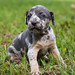 Catahoula-Puppies-For-Sale