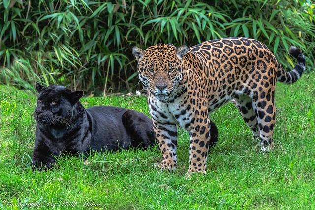 Jaguars , Chester Zoo,UK