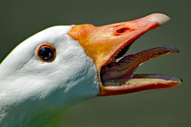 Angry White Goose
