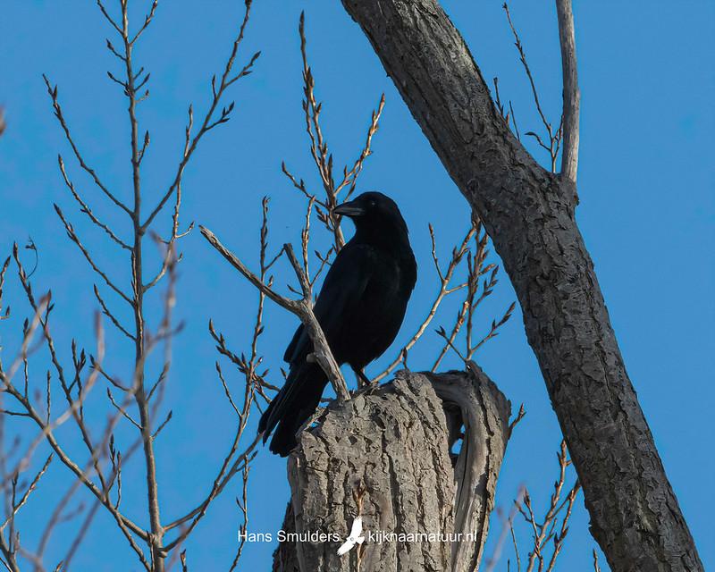 Zwarte kraai (Corvus corone)-850_1951