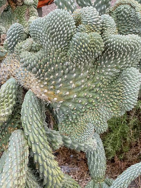Cristate Cactus, Cave Creek