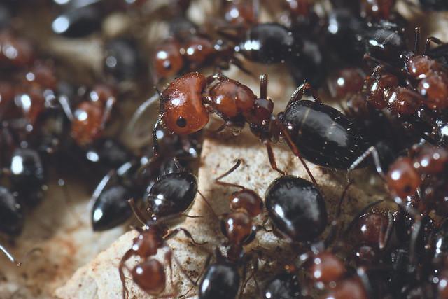 DSC_2315_00034_pn - Camponotus lateralis