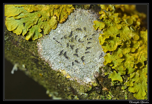 Phaeographis dendritica