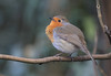 Robin in Eastville Park.