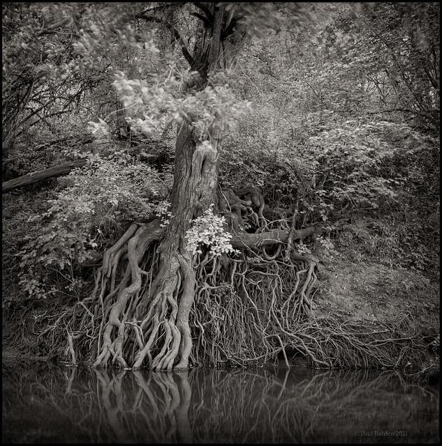Pan.F.trees.jpg