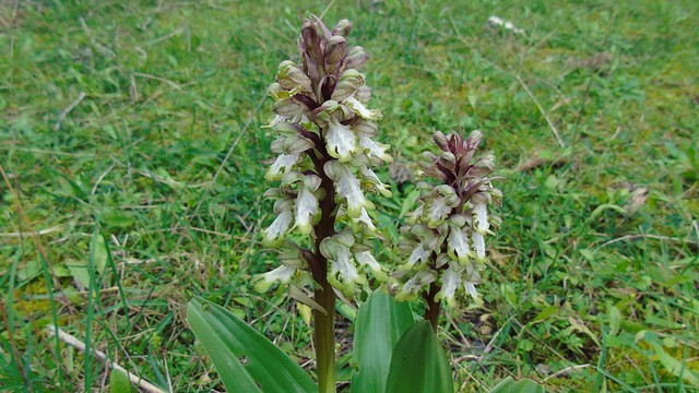 2_Himantoglossum robertianum