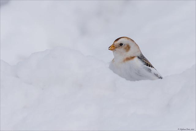 Bruant des neiges - caché
