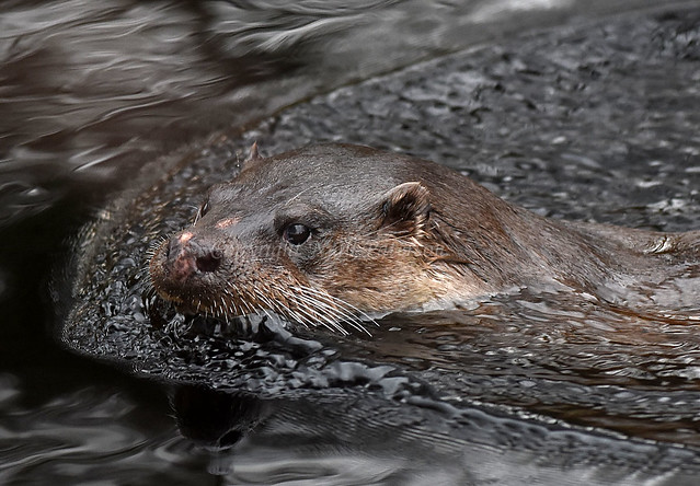 Female Otter (2)