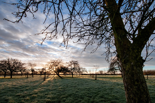 kenn somerset northsomerset england uk orchard pastoral rural farming agriculture appletrees trees tree grass sunrise dawn outdoors outdoorphotography outside nature stevetholephotography landscape landscapephotography nikon nikond300 winter february