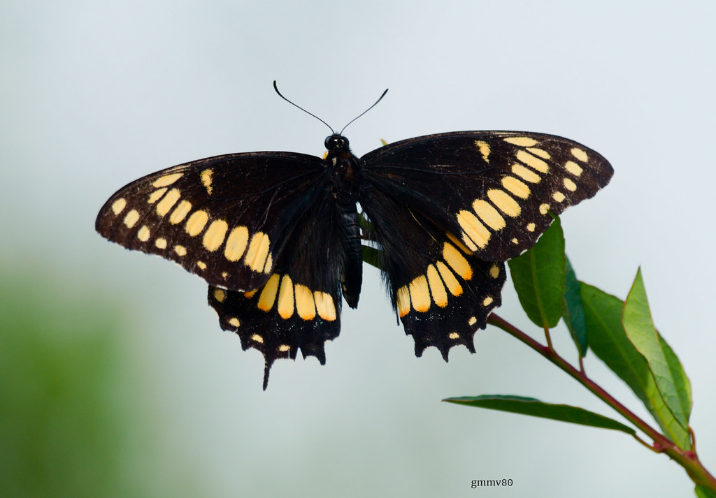 Papilio hellanichus