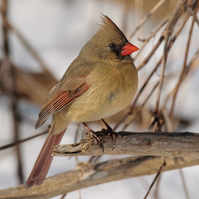 Northern Cardinal - 0092